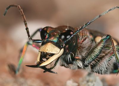animals, insects, beetles, iridescence - desktop wallpaper