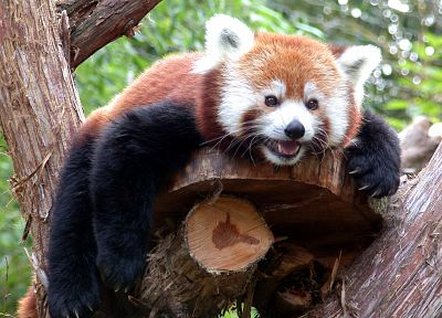 trees, animals, red pandas - random desktop wallpaper