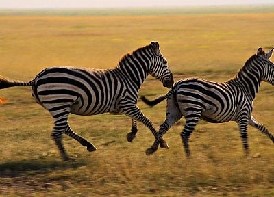 animals, wildlife, zebras - random desktop wallpaper