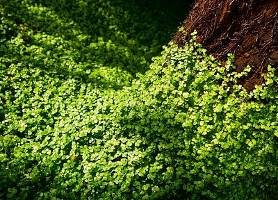 nature, leaves, sunlight, Clovers - random desktop wallpaper