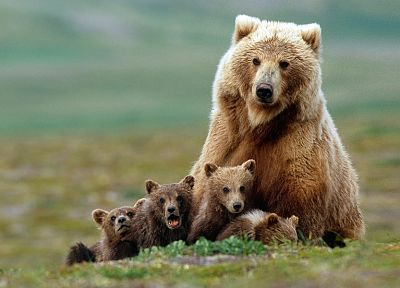 animals, bears, baby animals - related desktop wallpaper