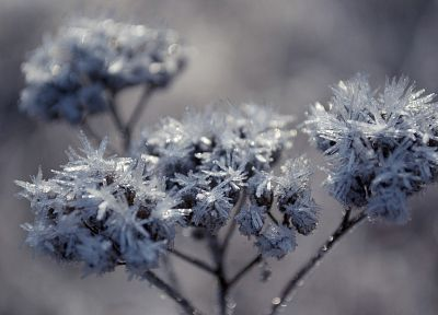 nature, flowers, frozen - desktop wallpaper