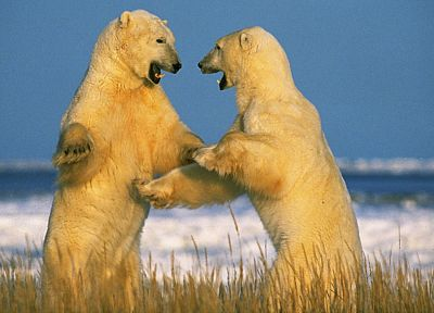 animals, Canada, polar bears - random desktop wallpaper