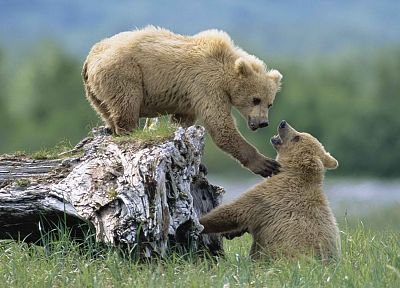 Alaska, grizzly bears, National Park, siblings - random desktop wallpaper