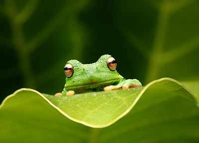 leaves, frogs, amphibians - random desktop wallpaper