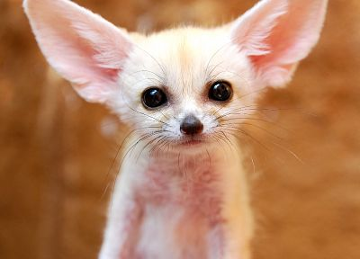 animals, fennec fox - desktop wallpaper