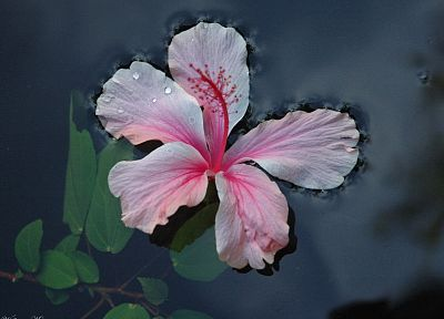 flowers, hibiscus, pink flowers - desktop wallpaper