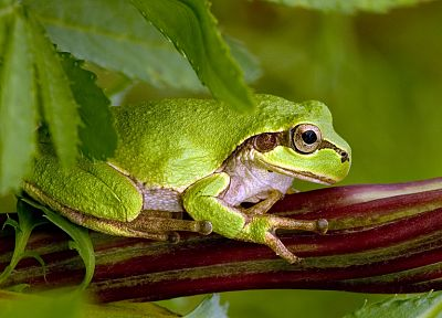 animals, leaves, frogs, macro, amphibians - related desktop wallpaper