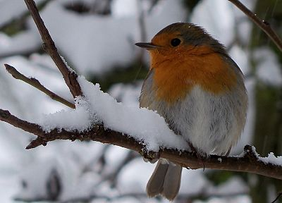 winter, birds - random desktop wallpaper