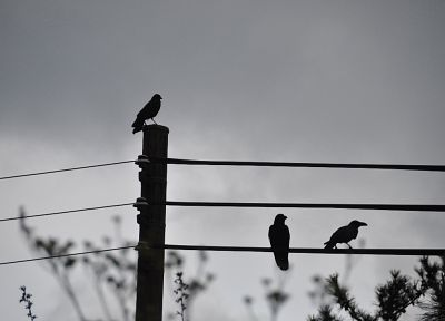 birds, silhouettes, grayscale, power lines, crows - desktop wallpaper