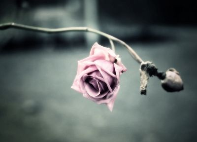 depth of field, roses - random desktop wallpaper