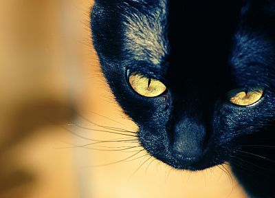 close-up, Black Cat - random desktop wallpaper