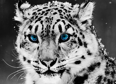 blue eyes, animals, grayscale, snow leopards, snowflakes - desktop wallpaper