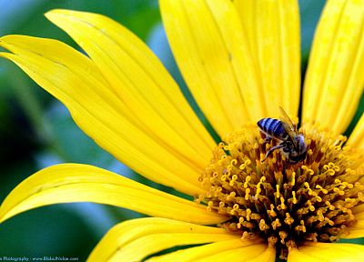 flowers, yellow, insects, plants, bees - random desktop wallpaper