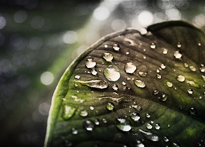 leaves, water drops, depth of field - related desktop wallpaper