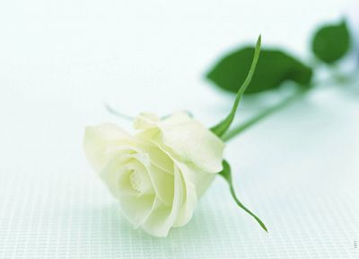 nature, flowers, white roses, roses, white background - random desktop wallpaper