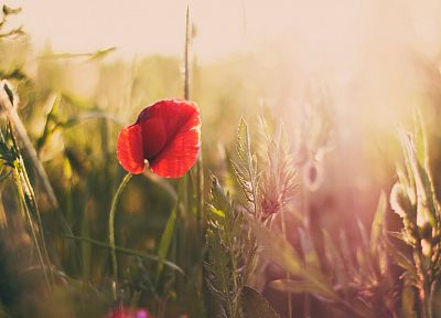 nature, flowers, poppy - related desktop wallpaper