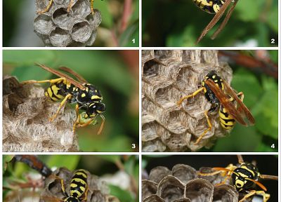 insects, wasp - related desktop wallpaper