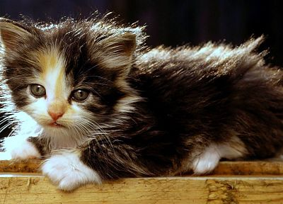 cats, animals, kittens, baby animals - related desktop wallpaper