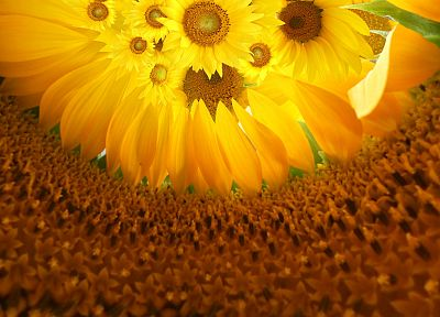 flowers, sunflowers, yellow flowers - desktop wallpaper