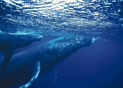 animals, whales, underwater - related desktop wallpaper