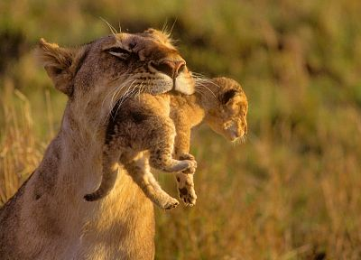 animals, mother, cubs, Africa, lions, baby animals - related desktop wallpaper