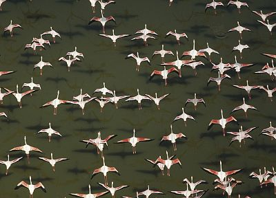 flock, flamingos, aerial, Africa, Kenya - desktop wallpaper