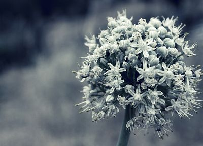 nature, white, flowers, monochrome - related desktop wallpaper