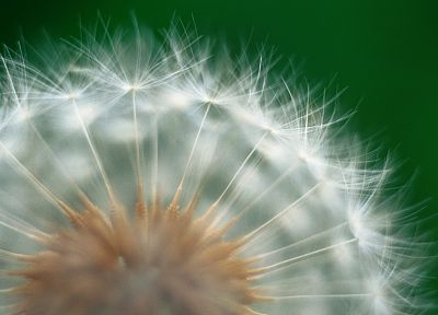 landscapes, flowers, plants, dandelions - desktop wallpaper