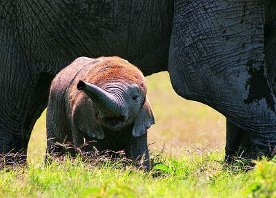 animals, wildlife, elephants, baby elephant, baby animals - random desktop wallpaper
