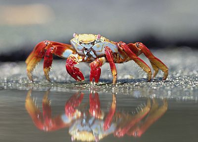 animals, islands, crabs, Ecuador - desktop wallpaper
