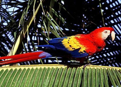 birds, parrots, Scarlet Macaws, palm leaves - random desktop wallpaper