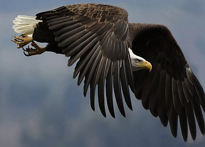 flying, birds, eagles, bald eagles - random desktop wallpaper
