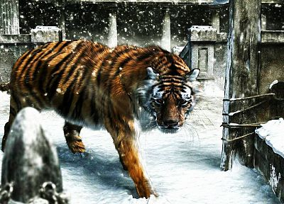 snow, animals, tigers - random desktop wallpaper