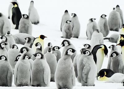 snow, birds, penguins, baby birds - related desktop wallpaper