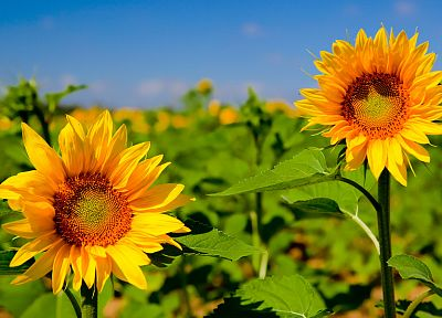 nature, flowers, plants, sunflowers - random desktop wallpaper