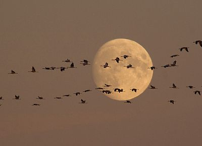 birds, moonlight, cranes, flight - desktop wallpaper