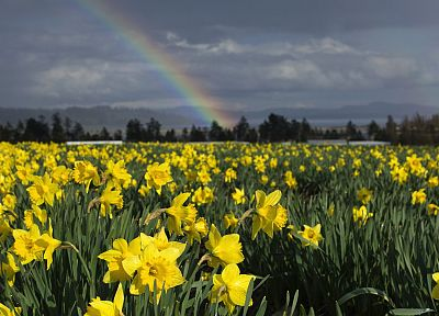 Vancouver, islands, British Columbia, daffodils - random desktop wallpaper