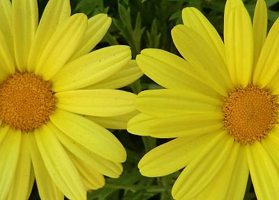 close-up, flowers, yellow flowers - desktop wallpaper