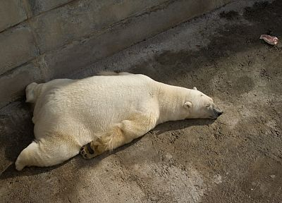 animals, sleeping, polar bears - random desktop wallpaper