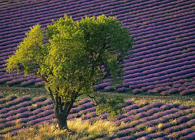 flowers, fields, lavender, purple flowers - random desktop wallpaper