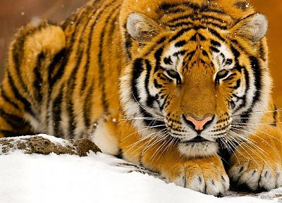 snow, animals, tigers, Siberian Tiger - random desktop wallpaper