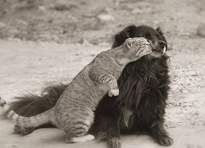 cats, animals, dogs, monochrome - related desktop wallpaper