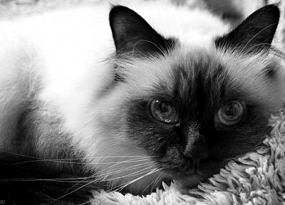 close-up, cats, animals, grayscale, pets, siamese, birman - related desktop wallpaper