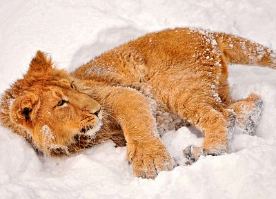 snow, animals, lions, baby animals - related desktop wallpaper
