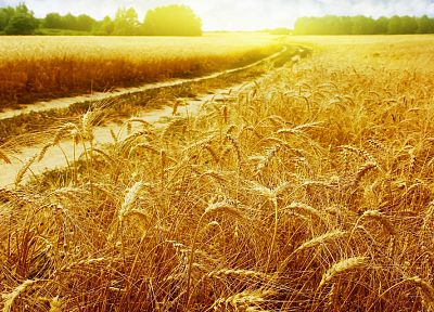 nature, Sun, fields, wheat - desktop wallpaper