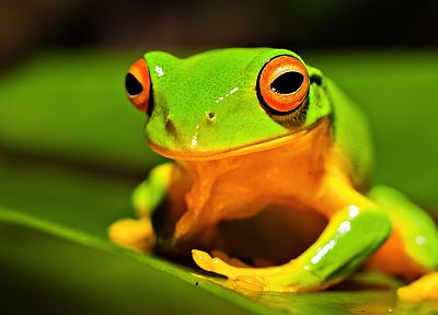 animals, frogs, amphibians - related desktop wallpaper