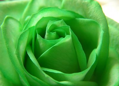 green, flowers, roses - desktop wallpaper