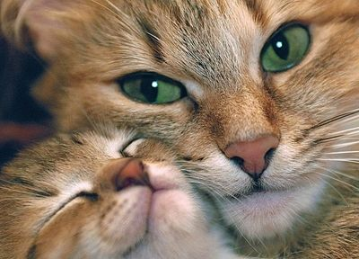 cats, animals, kittens - related desktop wallpaper