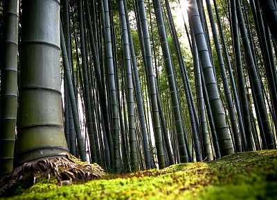 nature, wood, forests, bamboo - random desktop wallpaper
